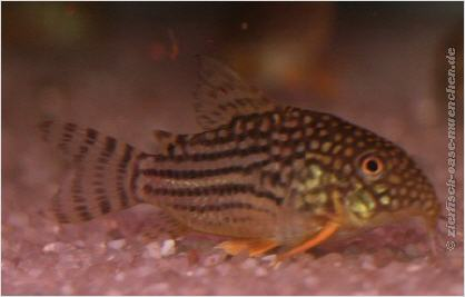 Welse for Aquarium fische arten